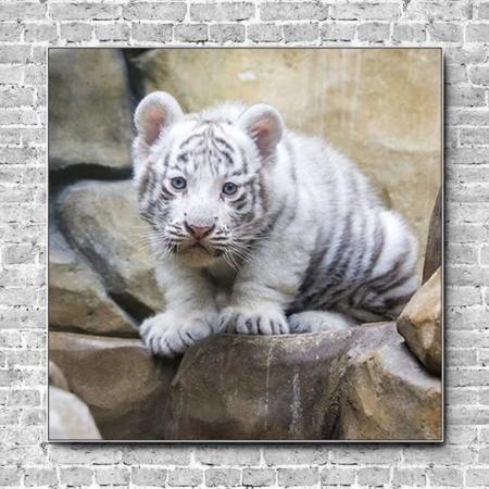 Akustikbild Tierbabys weißer Tiger Quadrat